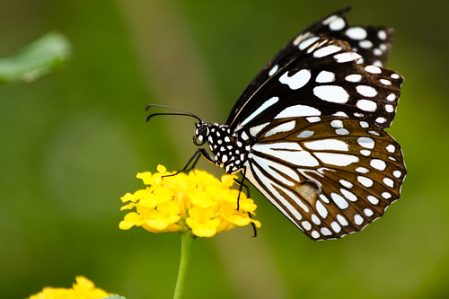 macros canoneos350d nymphalidae bannerghattanationalpark bluetiger canonef70200mmf4lusm tirumalalimniace colorphotoaward thebestofday gününeniyisi thebrushfootedbutterflies niranjvaidyanathan