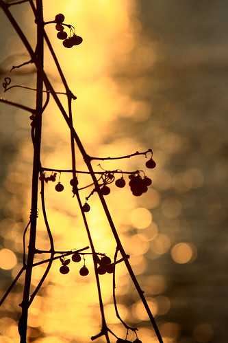 sunset reflections berries bokeh goldenglow vob
