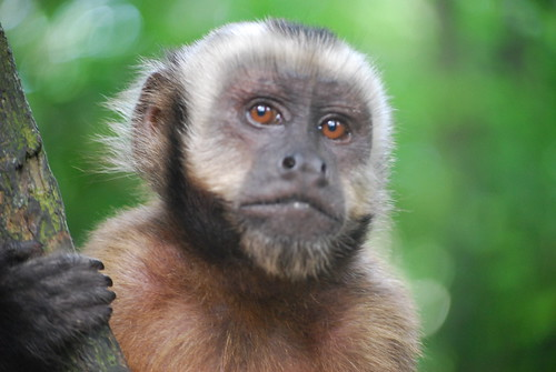 Capuchin Monkey closeup | by Ivan Mlinaric