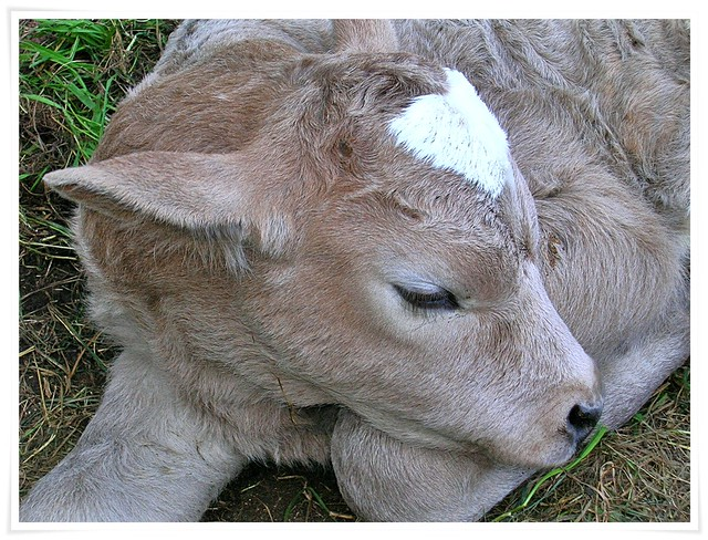 An old day calf