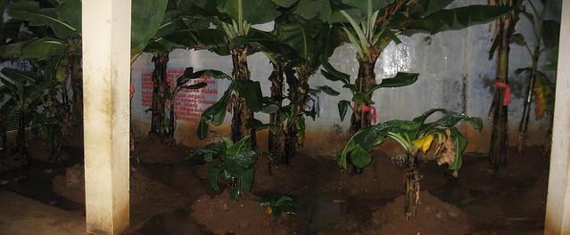 Sthala Vruksham - Plantain tree