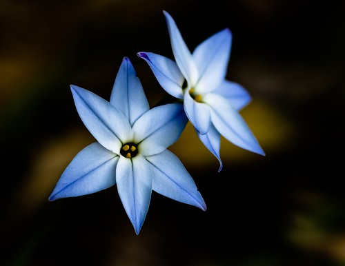 blue © northcarolina raleigh raleighnc starflower jcraulstonarboretum garyburke sigma105mmf28exdg bluestarflower myfavecolor stillshootingwiththeoldere510 iusedspotmeteringonthefloweritmadeforanicedarkbackground