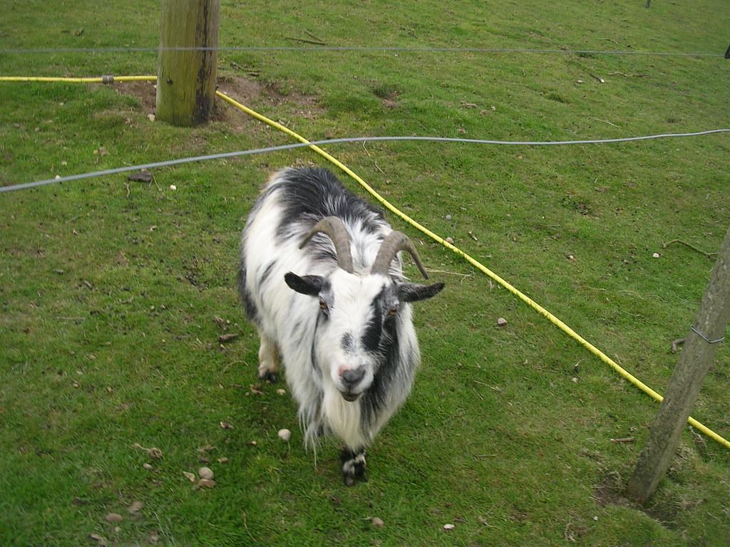 The goat gang Goat C Manningtree circular.