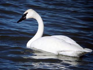 Trumpeter Swan   by Laura Erickson