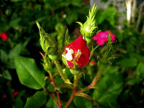 4339_Rose Buds