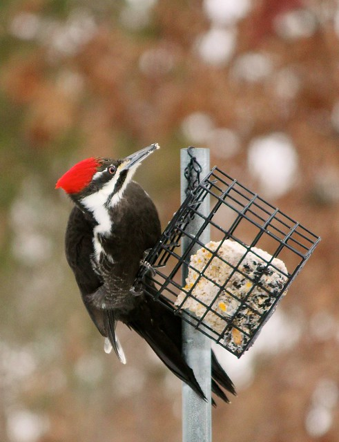 MAP0499 Pileated Lunch 4