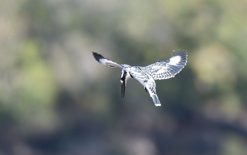 Pied Kingfisher holding position