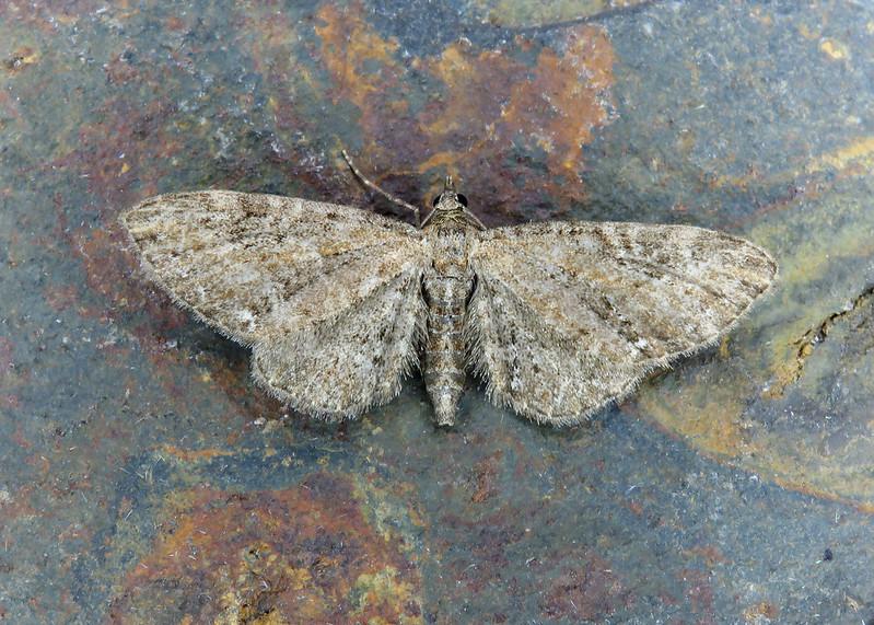 70.183 Common Pug - Eupithecia vulgata