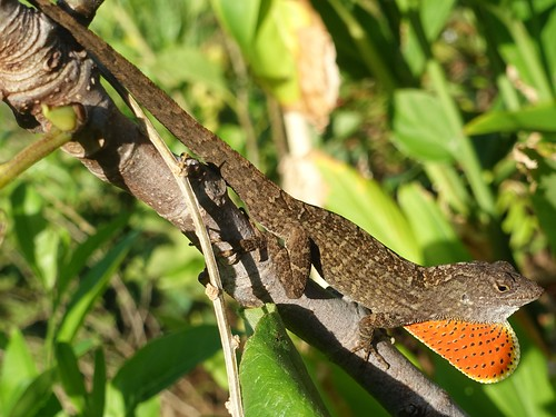 Biocontrol: Brown anole on branch of an edible fig | by Plant pests and diseases
