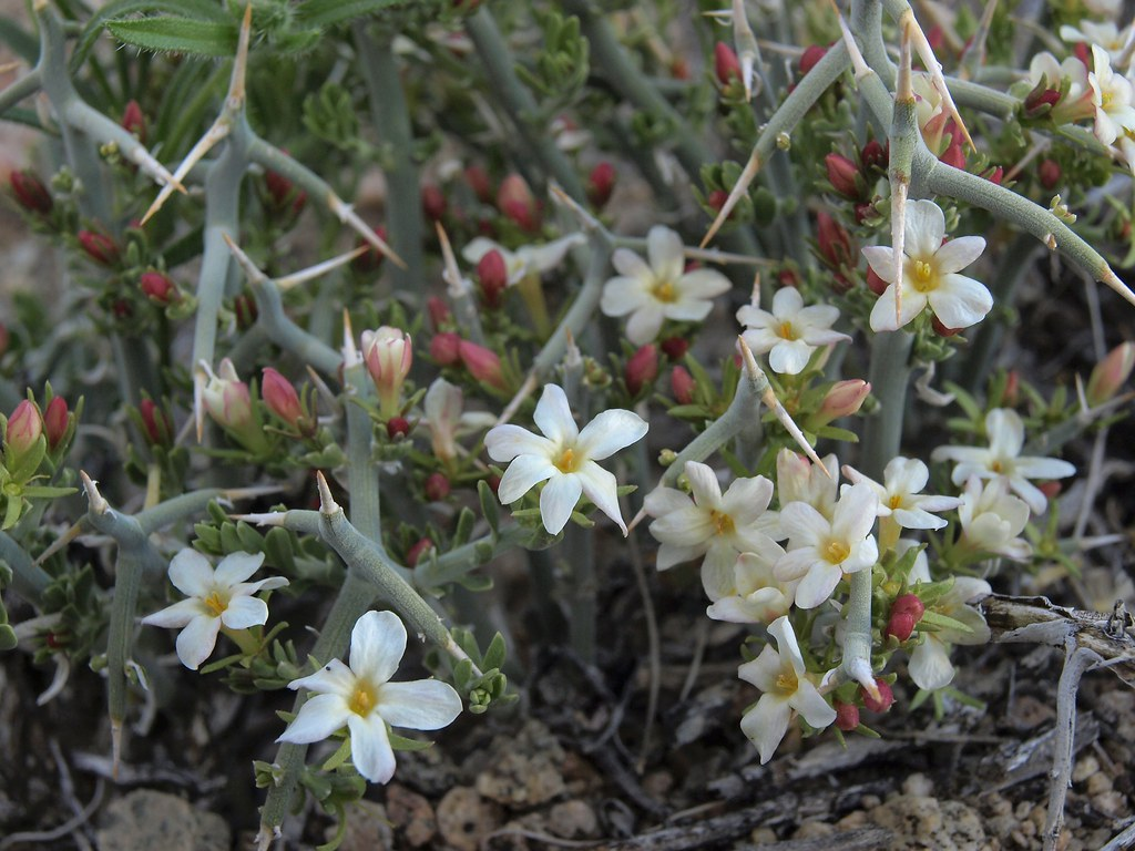 spiny menodora, Menodora spinescens var. spinescens