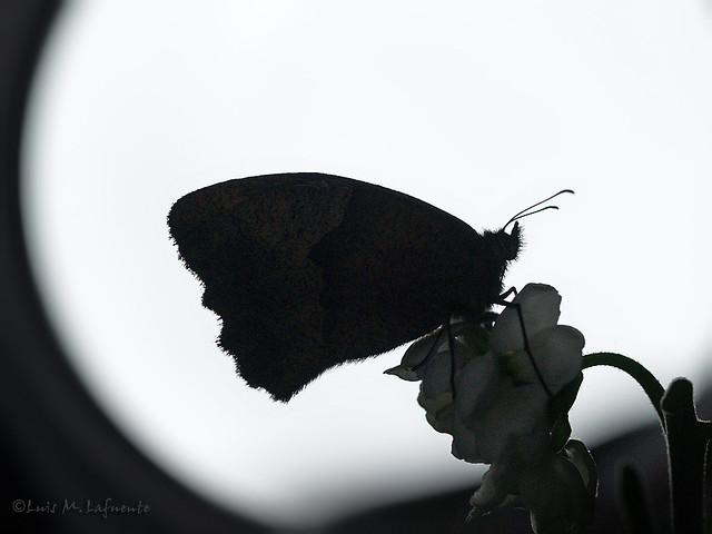 Mariposa a la luz de la luna - Meadow Brown Butterfly at moon light