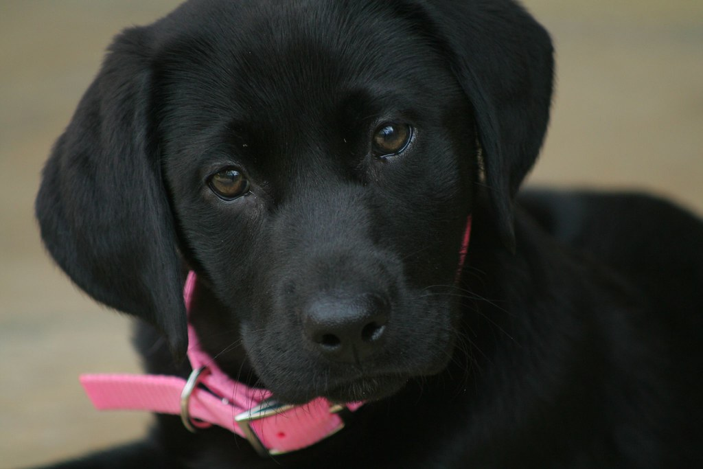 Buy Black Lab Puppies In South Carolina USA