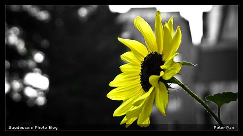 sunflower   by Ankhbayar Tumurbaatar