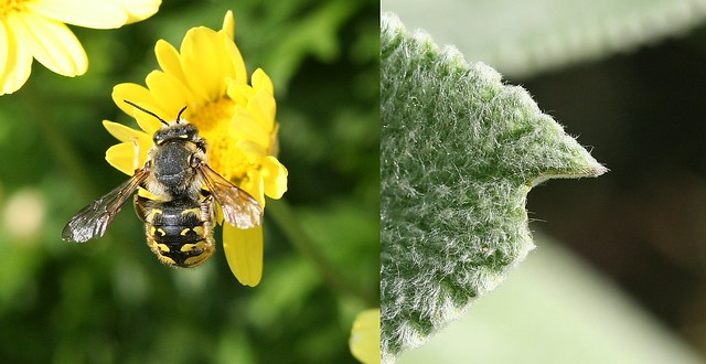 Carder bee and lamb's ear