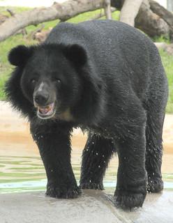 Selenarctos thibetanus (Himalayan Black Bear) | by ucumari photography