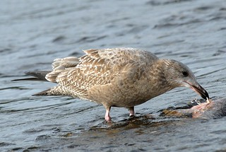 Herring Gull, 1st winter | by birding4ever