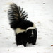 Striped and Hooded Skunks - Photo (c) Petroglyph, some rights reserved (CC BY-NC-SA)