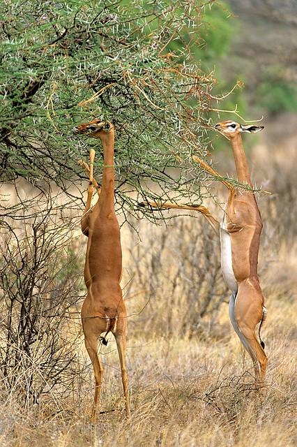 Kenya, Gerenuk