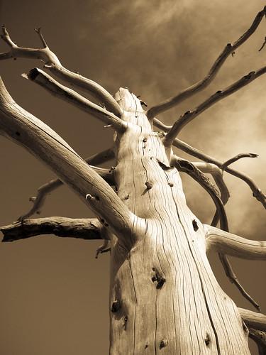 wood arizona bw blackwhite deadtree flagstaff southwestusa