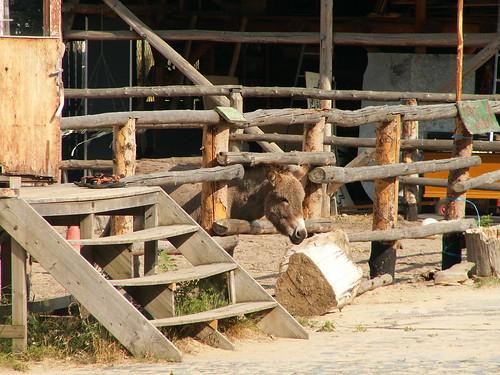Ein Esel ist wer am Sonntag Morgen um 5 Uhr gut gelaunt aus dem Bett zu springt, damit der Vierbeiner den Morgen auf der Wiese unbehelligt von Stechmücken und Zecken das frische Gras am Eselsnest genießen kann 072
