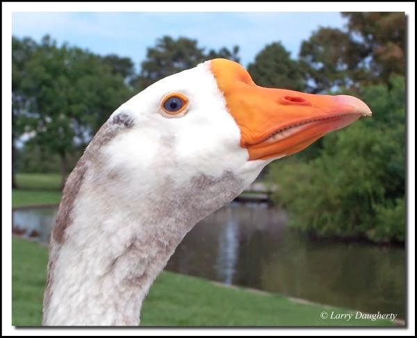 Hungry Goose  -  Lafreniere Park