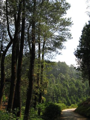 tree green pine forest cileunca