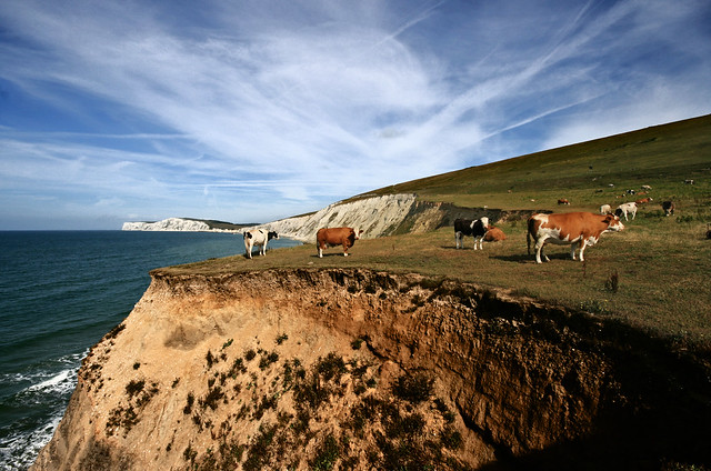 Living on the edge - Stunt Cows on the cliffs over Compton Bay.