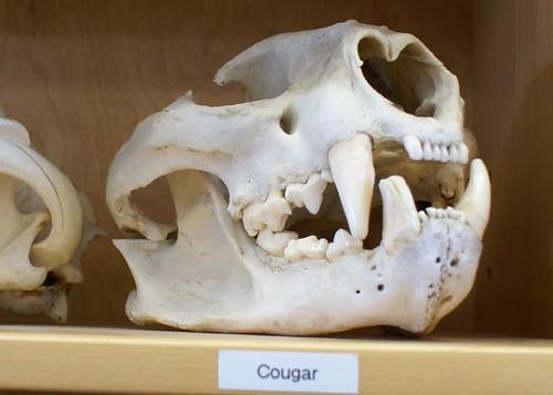Alan Brooks Nature Centre--Cougar Skull