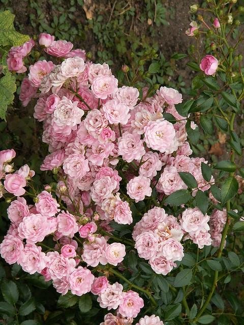 Die in niegesehene Heimatsaugen, zwei Augen aus der Fremde, der Blume in Kaditz geht zu andren Augen hin, wild hin in die fremde Nacht, eine sturmergriffne Liane, schwand die junge Blumenkönigin 027