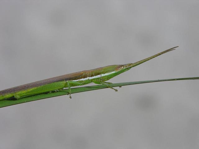 Toothpick grasshopper