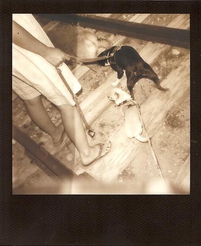 blackandwhite chihuahua dogs silver walking polaroid bostonterrier legs chief ivan az 600 flipflops brandi floyd dogwalk railroadtracks verdevalley clarkdale blc 2011 june9 instantfilm blackframe 3dogs polaroidjobpro thelittledoglaughed ellenjo summerinarizona ellenjoroberts benatztrail brandileecooper silvershade impossibleproject theimpossibleproject px600 thursdayaftersunset