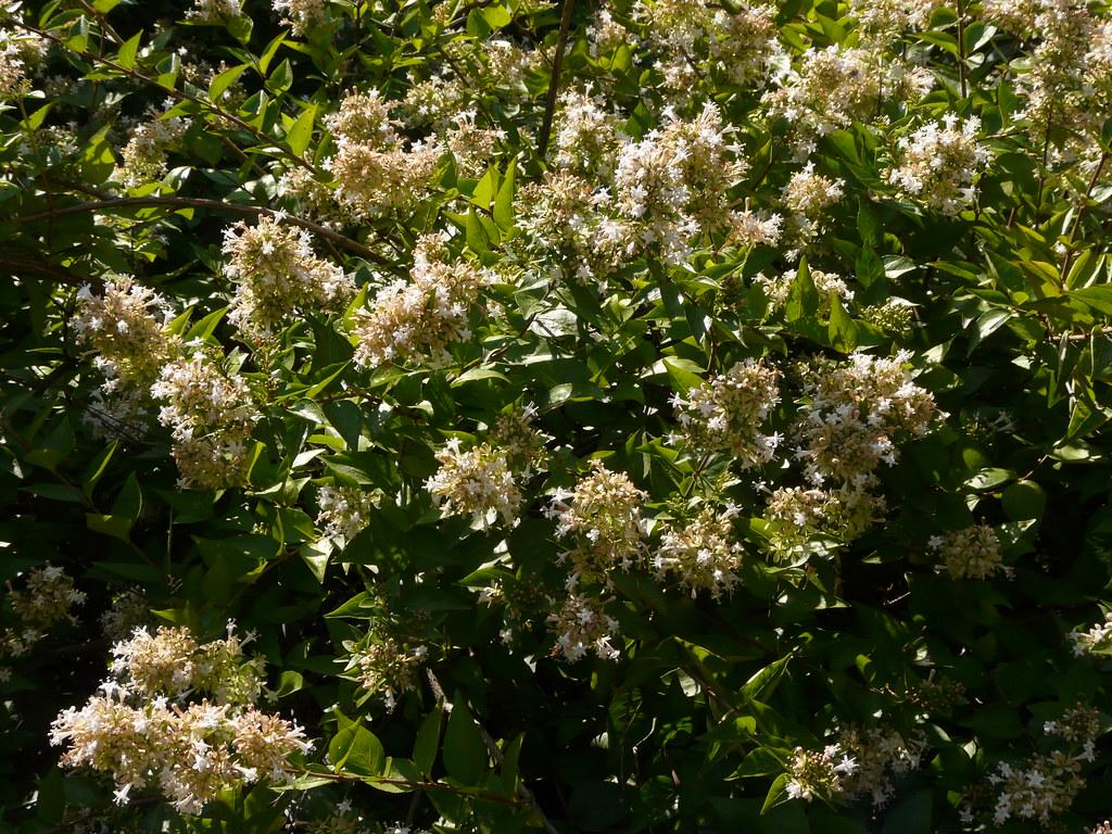 Abelia Chinensis Carl Lewis Flickr