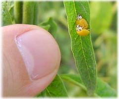 黃瓢蟲 | by hycheng2