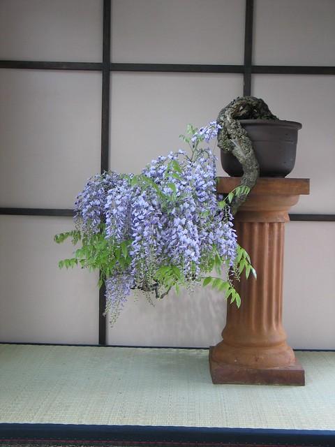Old Wisteria Cascade Bonsai in Spring