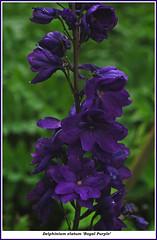 DSC_6096tz Delphinium elatum royal purple close-up | by arbolz
