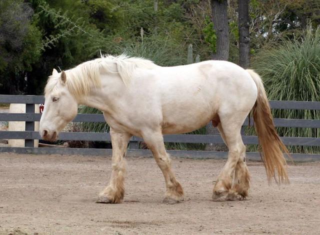 american cream horse