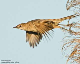 Striated Grassbird (Megalurus palustris) | by neon2rosell