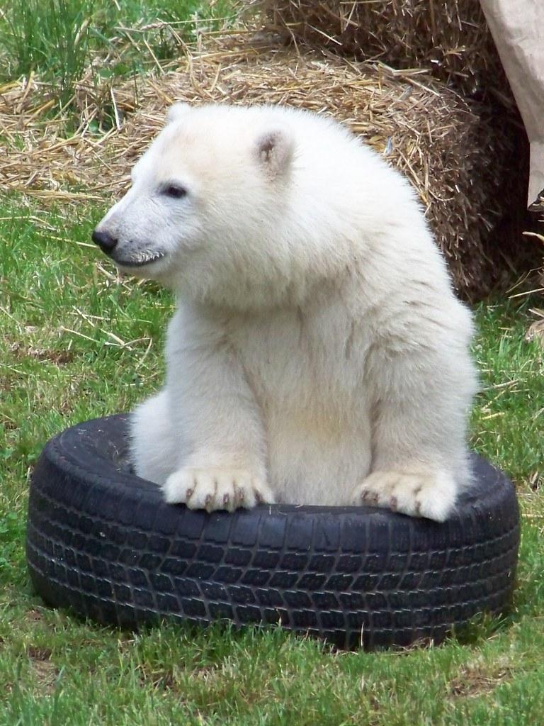 Eisbär Nürnberg