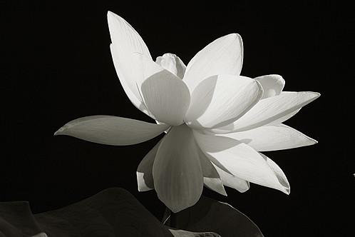 White Lotus Flower On Black White Lotus Flower In Black An Flickr