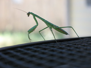 Praying Mantis | by afongen