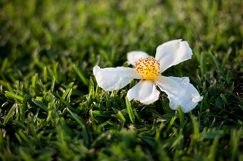 Gordonia blooms | by HelenPalsson