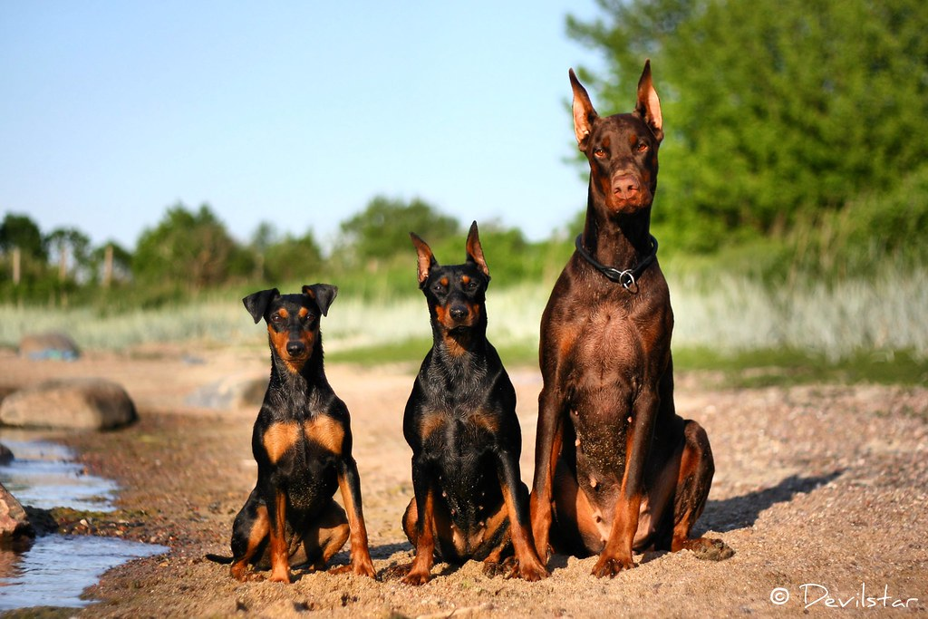 Similar, yet different | German Pinscher Nikitta - black