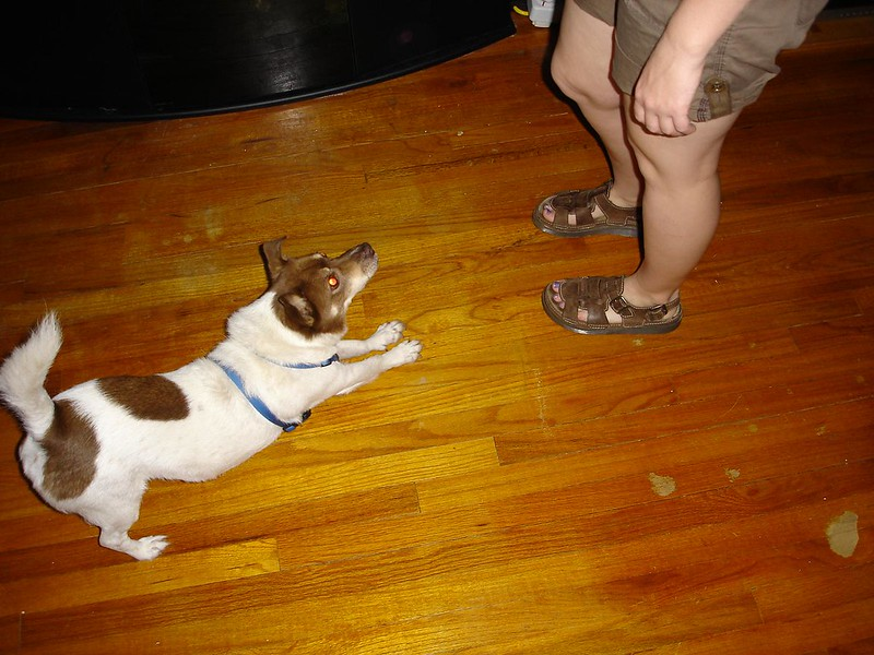 It took him a while, but Pokey eventually learned that bowing at Sarah often leads to treats.