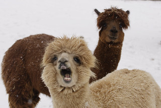 Alpaca at the National Zoo   by Smithsonian's National Zoo