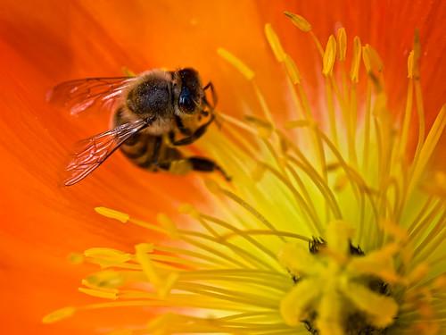 orange yellow insect flora bee poppy flickrsbest bestofflickrsbest