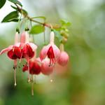 フクシャ   Fuchsia