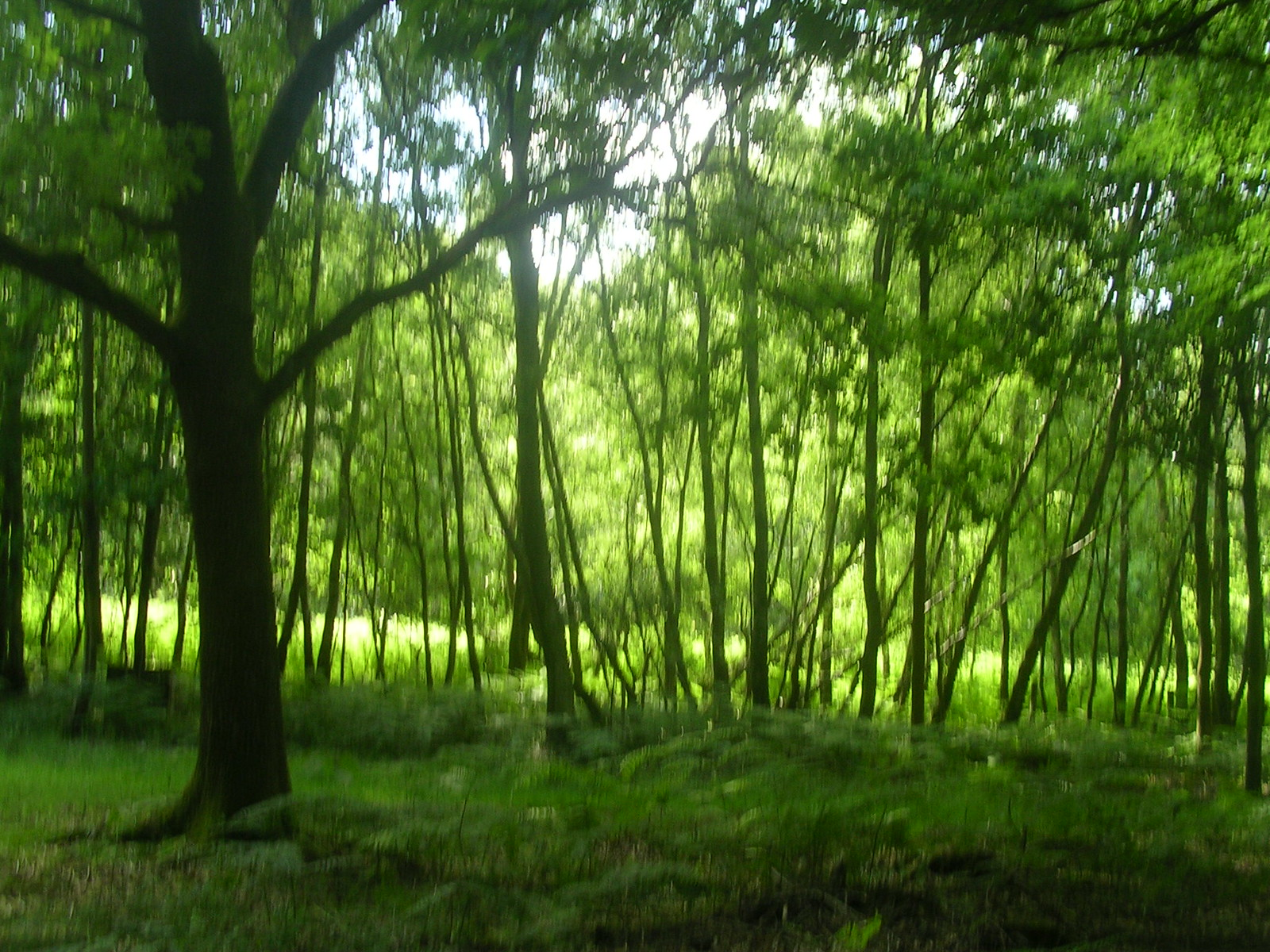 Trees Proper trees this time Ashurst to Hartfield