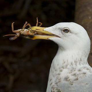 Schotland Herring Gull