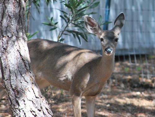 standing_deer | by mycranium1
