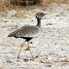 Northern black korhaan (immature male most likely)? by LPJC